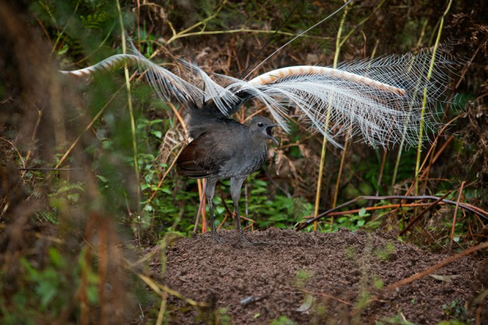 Superb lyrebird (Menura novaehollandiae) mound dance Credit: Fir0002/Flagstaffotos Under the CC BY-NCPicture